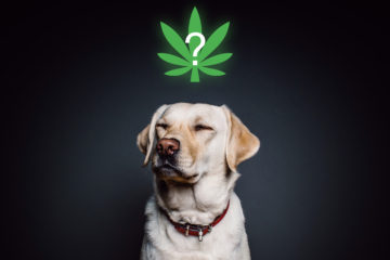 dog with cannabis above his head